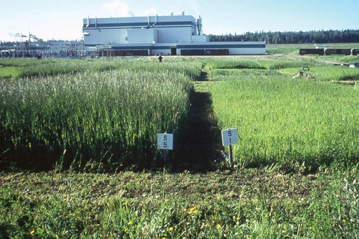 Test plots at the Alberta Newsprint Company plant. The plot on the left had an application of five centimetres of sludge and the one on the right had one centimetre of sludge applied.