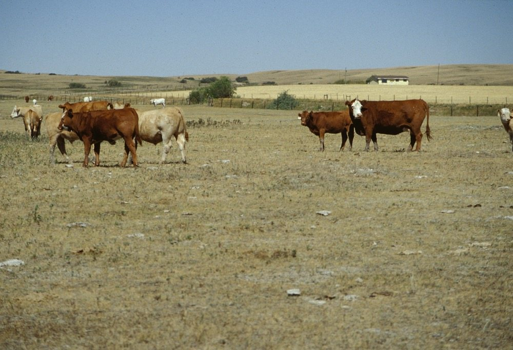 drought-pasture-cattle-file