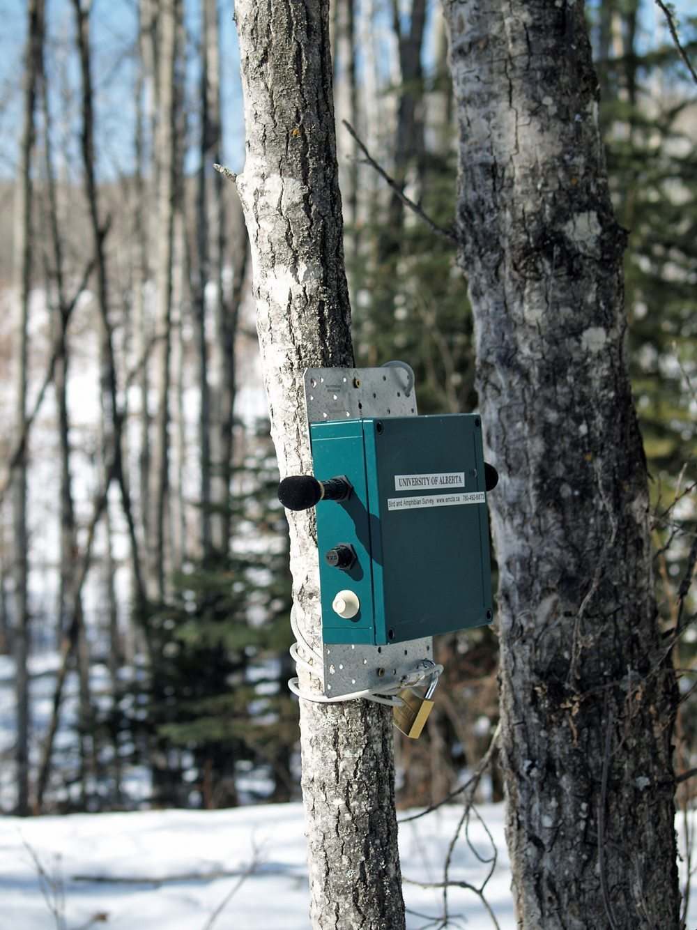 This bioacoustic unit attached to an aspen tree continuously records the sounds of wildlife.