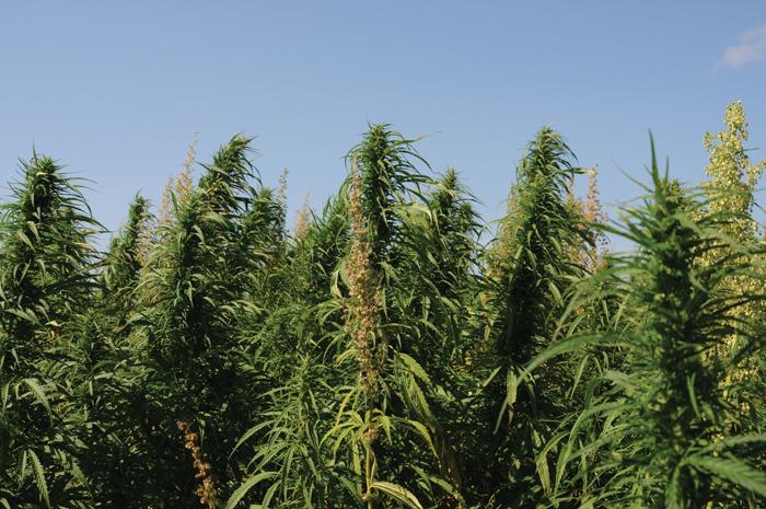 hemp plants