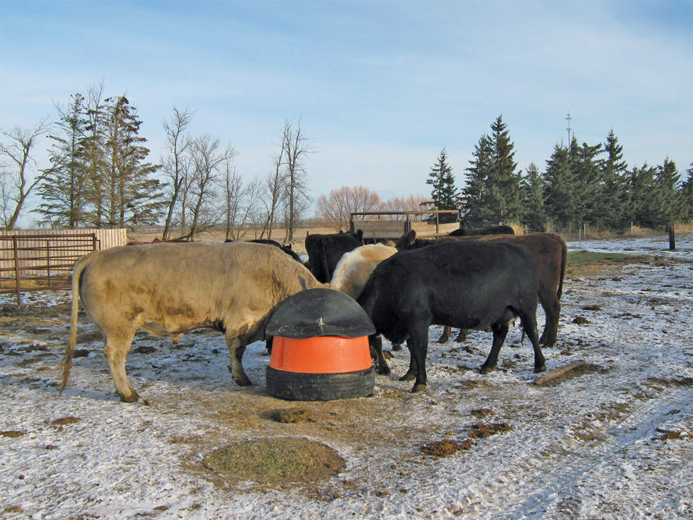 This proper mineral feeder is also mounted on a tire to keep it out of the wet and keep cows from stepping into it.