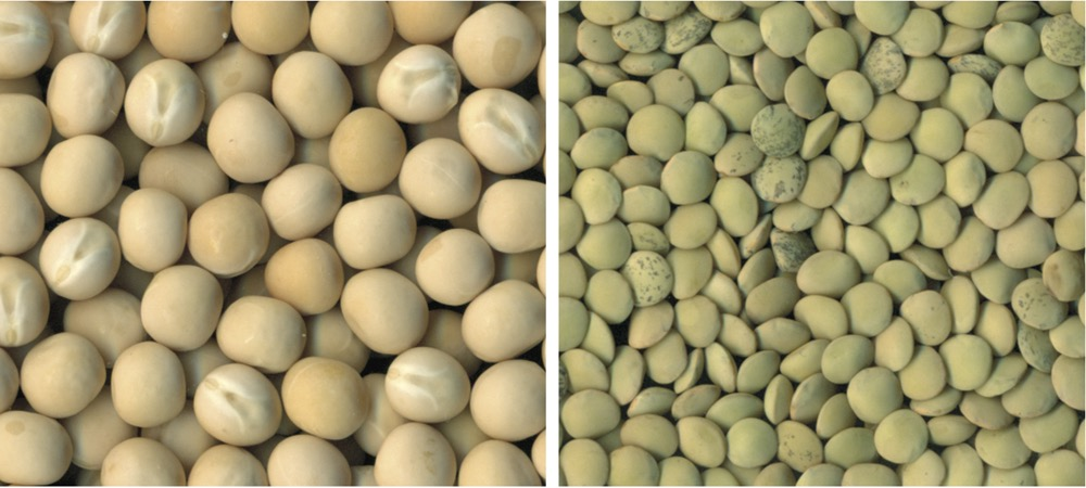 Left: CDC  Meadow  was  the  most  widely  grown  yellow  pea  variety  in  both  Saskatchewan  and  Manitoba  in  2015.  Right:  The  most  widely  grown  small  green  lentil  variety  grown in 2015 was CDC Imvincible, an imidazolinone (Clearfield)  tolerant variety.