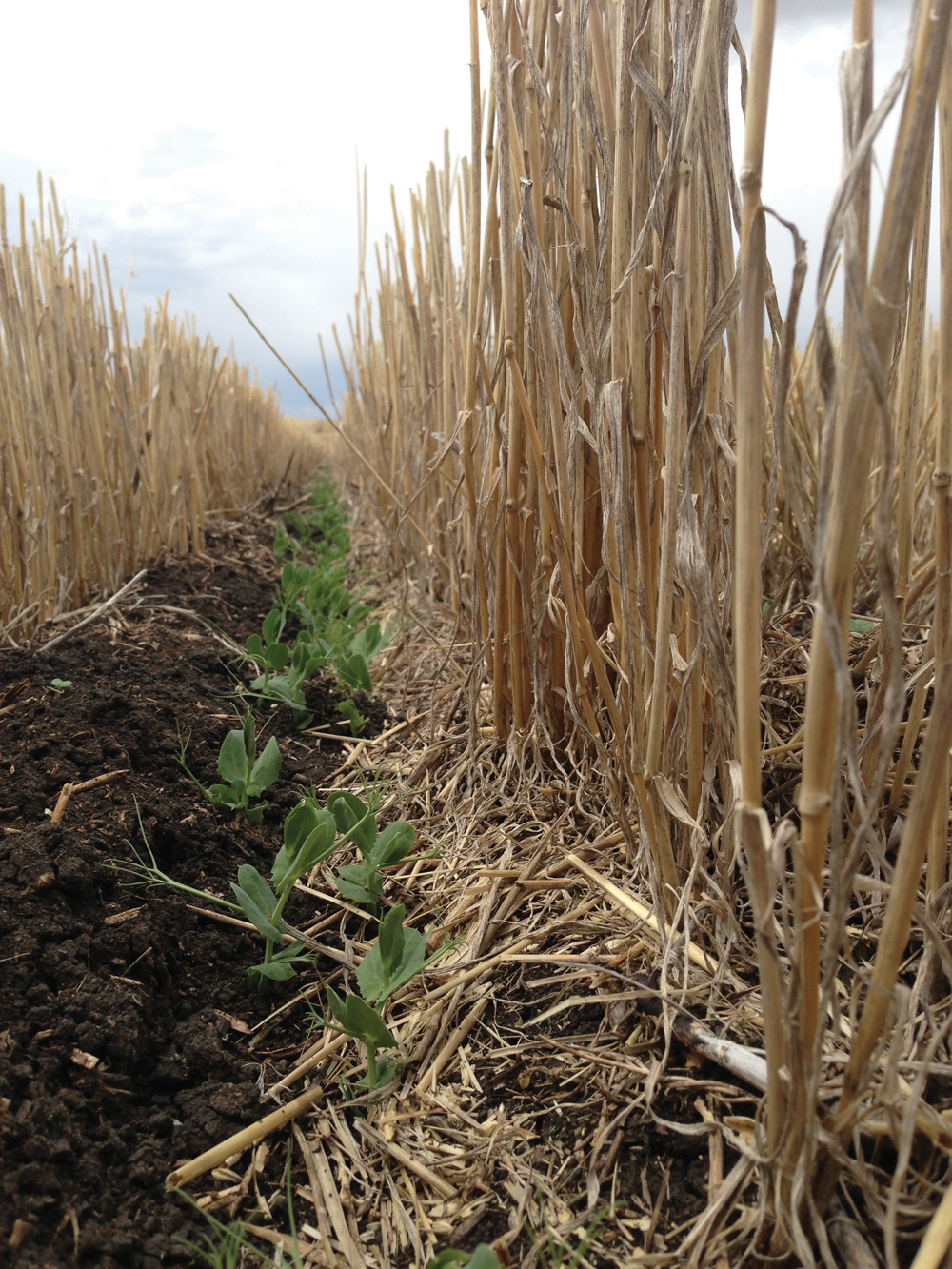 These field peas were seeded using the CTF system tucked in close to the standing stubble of the previous crop. The pea crop is able to use any residual nutrients from the previous crop and the standing cereal stubble provides protection and may help to support the pea crop as it matures.