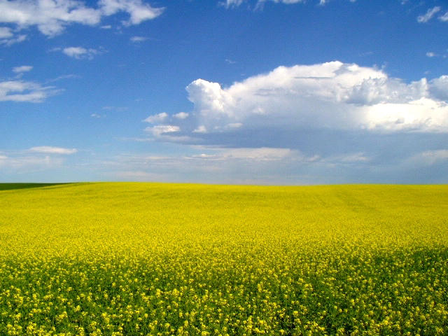 field of flowering mustard