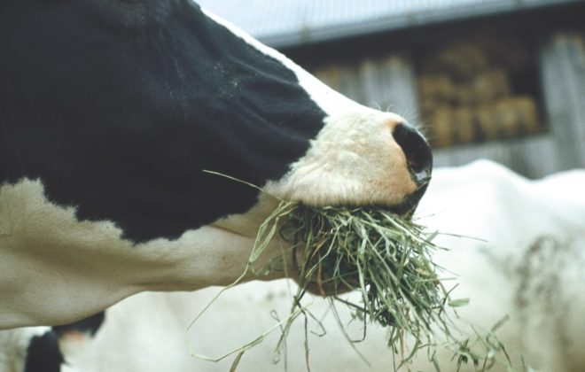 cattle-dairy-eatinghay-file