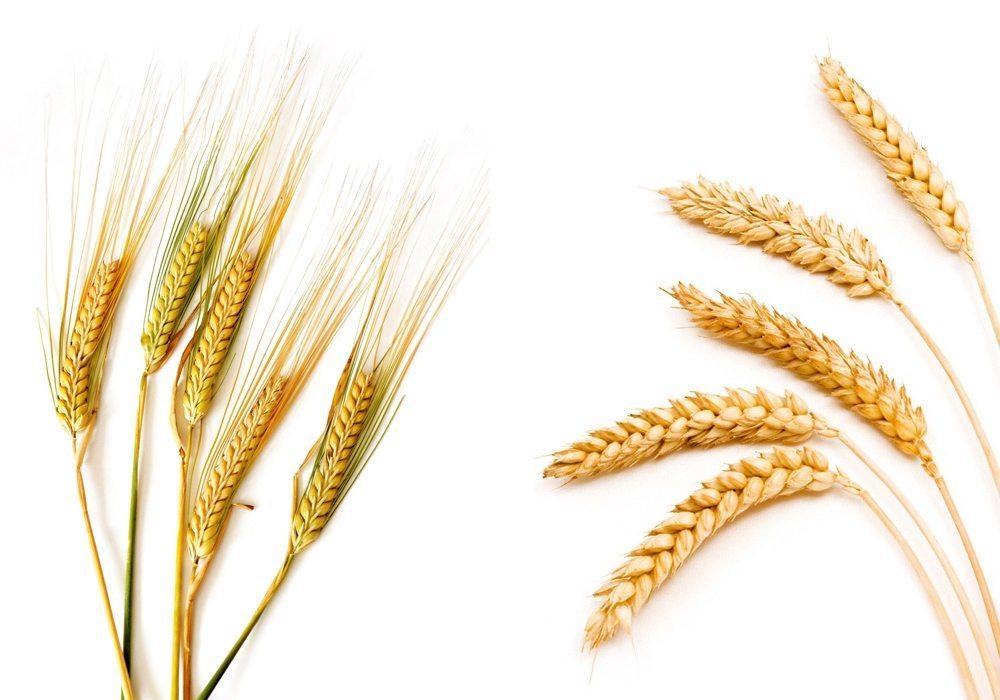 Wheat versus barley in feedlot rations - Canadian Cattlemen