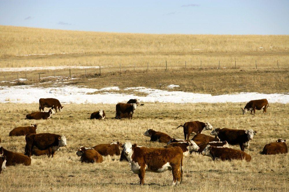 cattle-pasture-wintergrazing-6fp0309-CanadaBeefInc