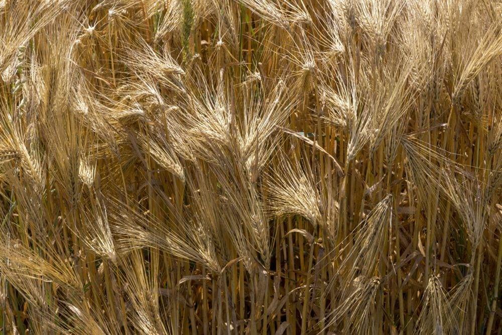 barley france