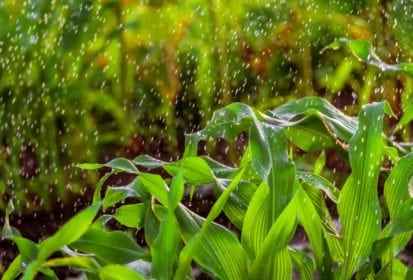 Irrigation of corn stalks. Green background with falling water drops. The stems of the rain drops. Photo with limited depth of field.