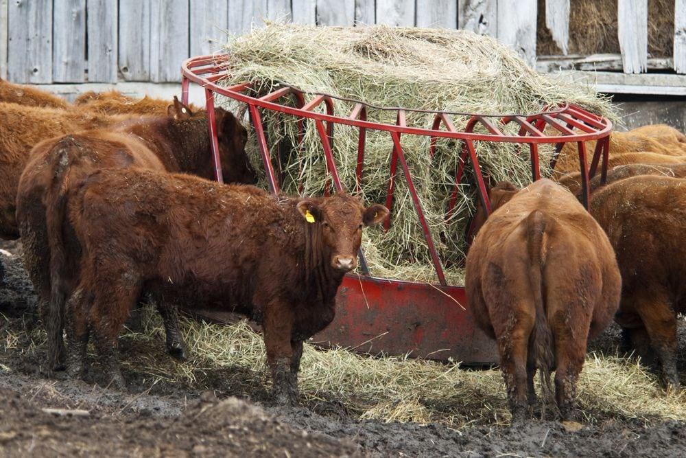 ontario cattle