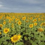 manitoba sunflower