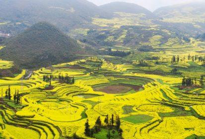 china rapeseed