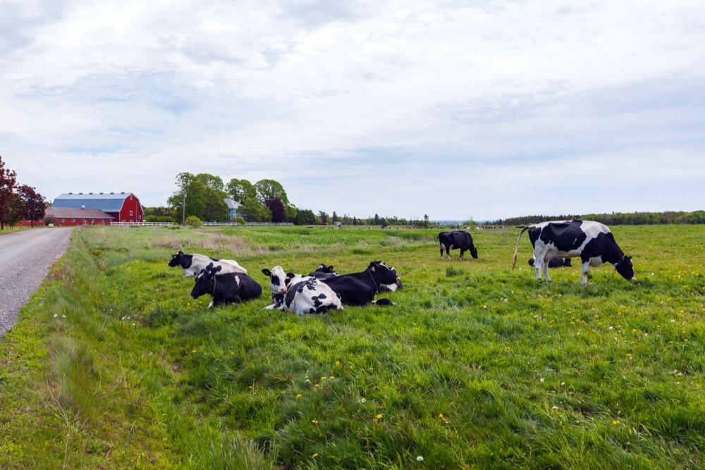 p.e.i. cattle