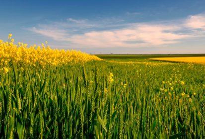 wheat and canola