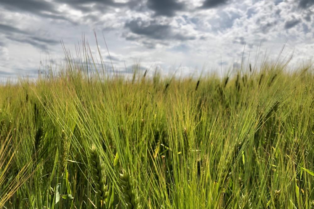 saskatchewan barley