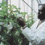 man tending to a potato plant