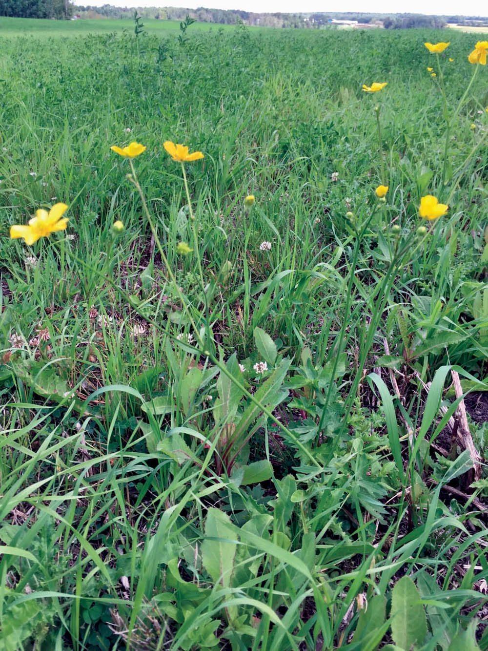 Bitter Weed A Common Sight In Alberta Alberta Farmer Express
