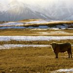 Feds announce tax support for cattle producers