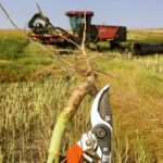 Canola producers get two new tools in the fight against blackleg