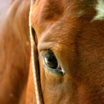 Fourth case of equine infectious anemia