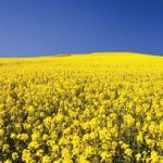 flowering canola field