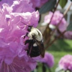 Environmental threats put bumblebee queens under pressure