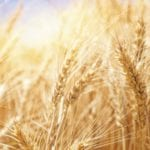 Wheat research receives funding