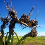 clubroot galls in canola