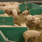 Loose housing is a winning approach, says Canadian pork giant