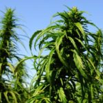 Hemp-growing course offered online