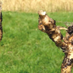 Wind seems to be the clubroot culprit in Manitoba