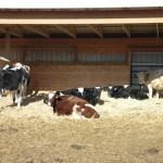dairy cattle in a stall