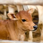 Brown young calf in barn pen.