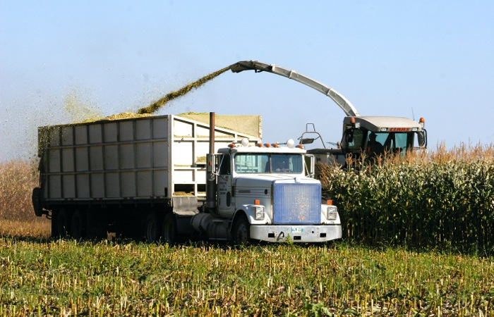 corn silage chopping