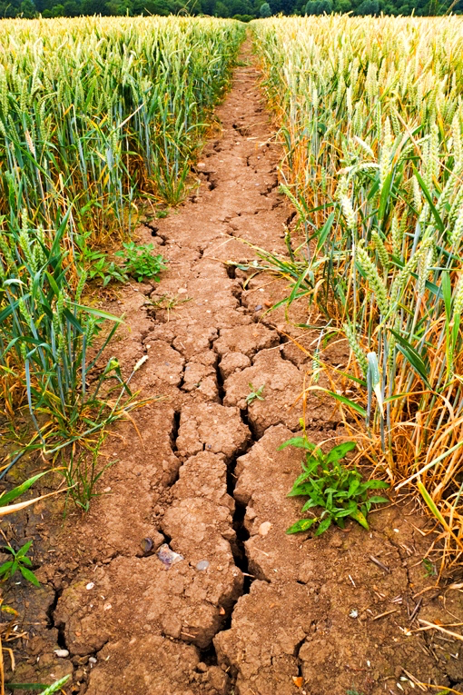 Drought-cracked mud in wheat field