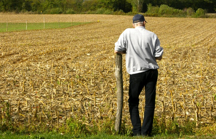farmer surveys cornfield harvest