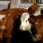 Provide first-calf heifers with nutrition and TLC