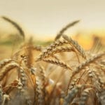 New cereal seed varieties for 2019