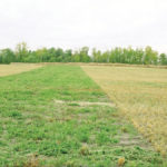 Can a cover crop help establish forages?