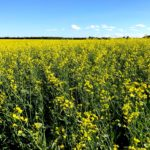 Are there cost savings to planting canola?