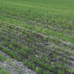 Crop advisor casebook: Why are rows of these lentils yellowing and stunted?