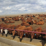 Suggestions for streamlining cattle exports