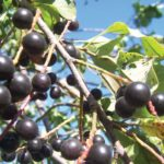 Singing Gardener: Wild chokecherries — the new superfood?