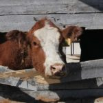 How to reduce stress when processing cattle