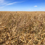 Sask. harvest in early stages, rainfall delays progress in south