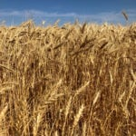 Sask. harvest well short of five-year average, strong winds, dryness damage crops