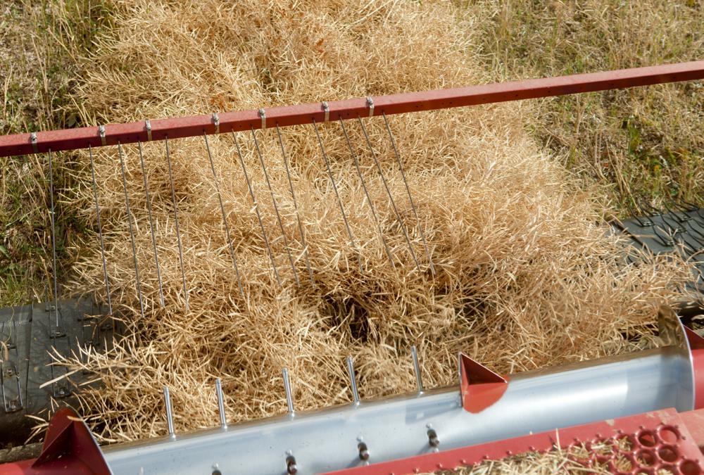 A combine harvesting a canola crop.