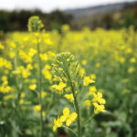 Choosing the best canola hybrid