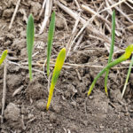 Crop advisor casebook: Zebra stripes in barley a result of herbicide carryover?