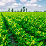 New strain of rhizobia enters the soybean inoculant game